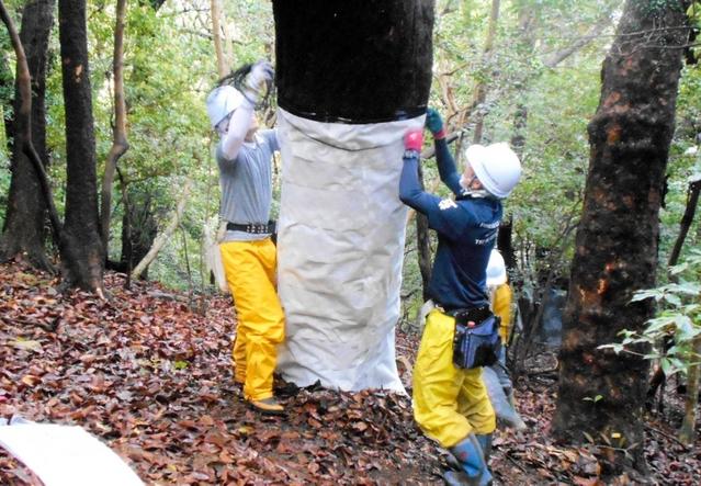 害虫を捕らえるための粘着テープを木の幹に巻く関係者ら=南あわ YuzuNews2021 da 21 a 31 Maggioじ市灘黒岩(提供写真)