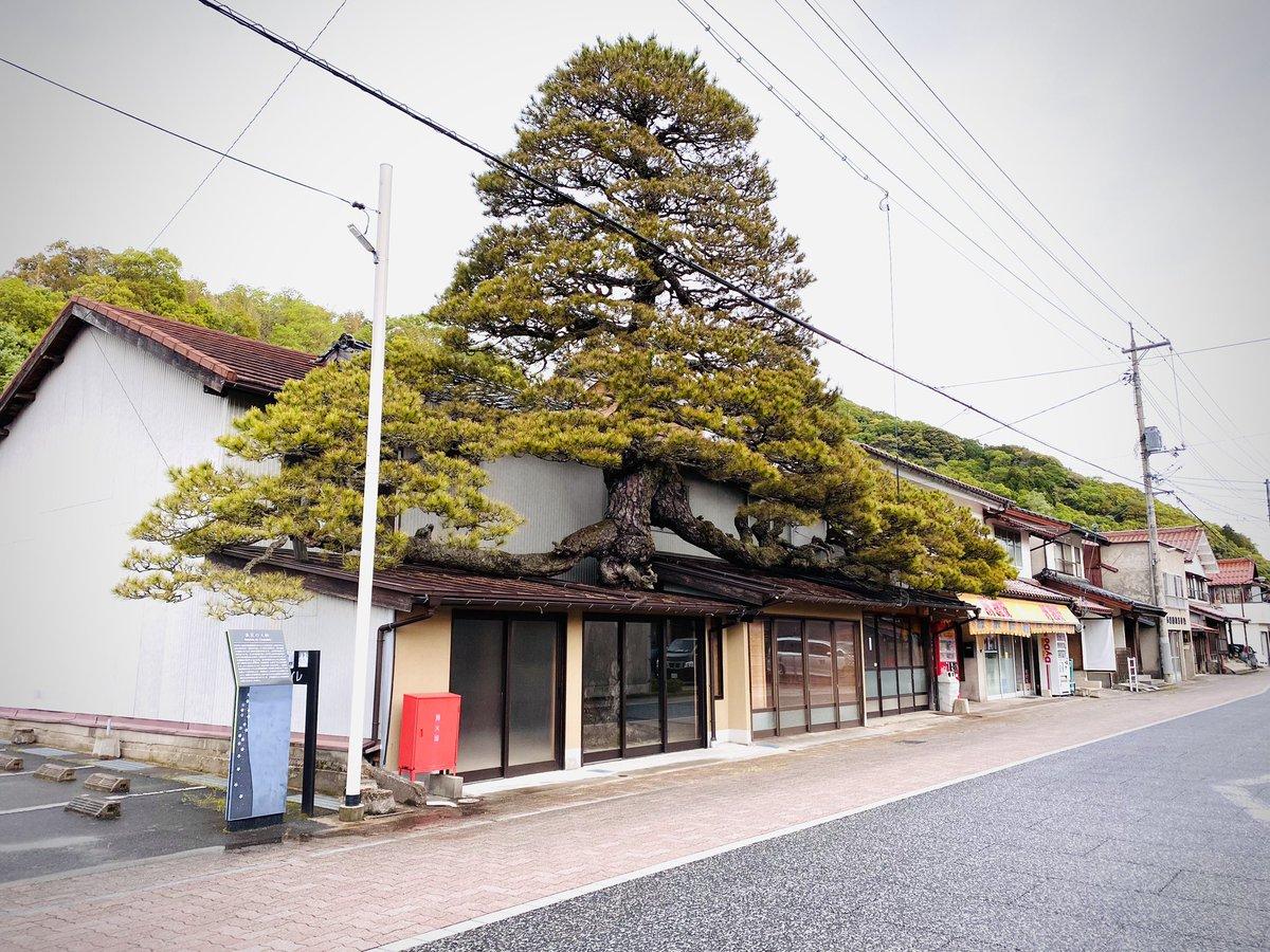 古い街並みを探していたら?島根県に家をブチ破って生えた松が発見される!