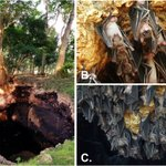 Image for the Tweet beginning: #Ecotourism for #Bat #conservation  There