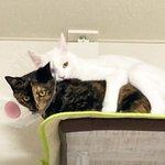 Image for the Tweet beginning: 252日目 サビと白の関係 「ねーたん ひしっ!」 「ヴーヴ💢」  コラコラ 😓 #白猫 #しろねこ #子猫 #whitecat