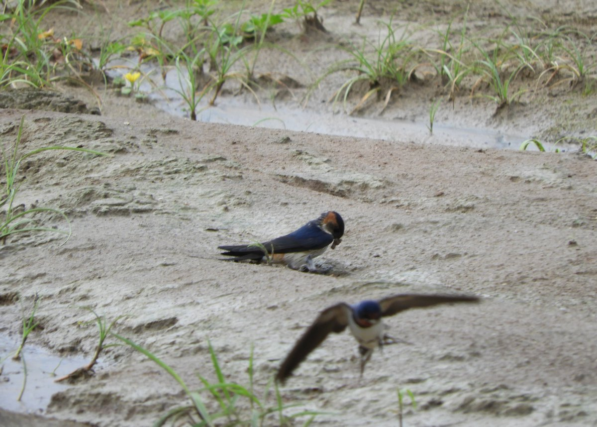 test ツイッターメディア - 今日は鳥撮り砂丘です。 火山灰露出地で巣材を集めたり、雨上がりの草むらでエサ探ししたり、群れで鳴き交わしたり… 観光客が少ない代わりに、野鳥たちが賑やかな砂防林や砂丘内です。  #今日の鳥取砂丘 #野鳥 #コシアカツバメ  #ツバメ #カワラヒワ #エナガ #シジュウカラ https://t.co/IqqlZmBEMw