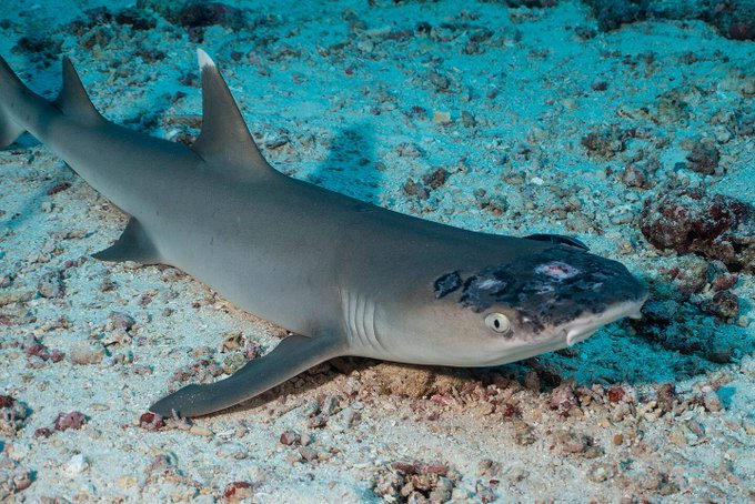 'Eating into their flesh': Reef sharks with skin disease may be the latest victims of climate change Photo