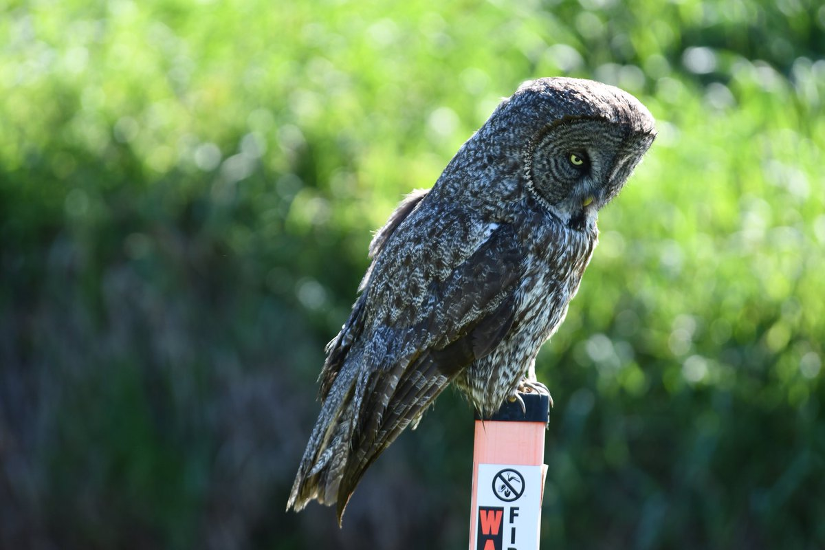 2 nights looking, 3rd day got him!!! Sax-Zim Bog, I love you, your Great Gray Owls & Connecticut warblers & amazing  dedication of the local community to conservation   @JoeWalston_WCS @natmoss @RealBlueFalcon @DuplessisBrad @tedreinert https://t.co/cuHLatzrcV