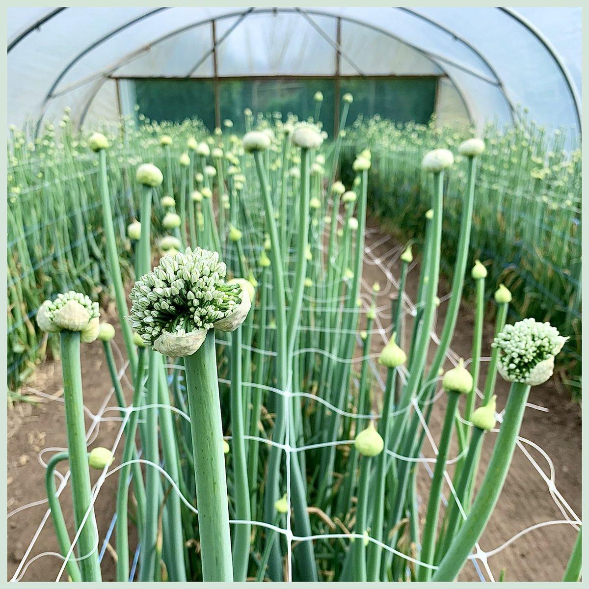 AlliumSeeds photo