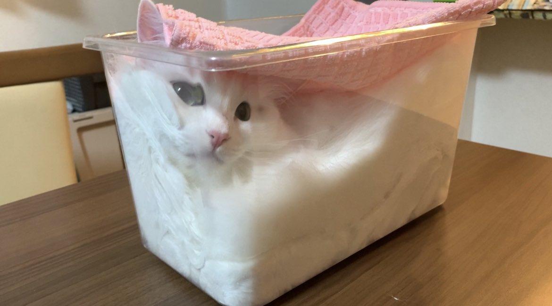 RT @5711Nakasin: しっかりとフタをして発酵させてます🍞  #猫 #マンチカン #雪之丞 #cat https://t.co/2csNrHrqHO