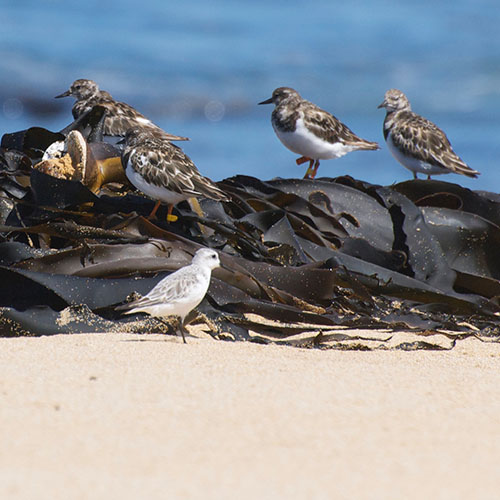 Save the #seaweed, save the #birds. New #research from the @UniversitySA shows we must protect coastal and #beach #environments if we are to ensure the survival of wading bird species.  #conservation #ecology https://t.co/WggogfcaRA https://t.co/zd3w7fvh8P