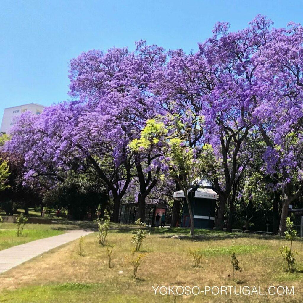 test ツイッターメディア - リスボン、エドゥアルド7世公園のジャカランダ。 #リスボン #ポルトガル #ジャカランダ https://t.co/7VFs1Bi7HW
