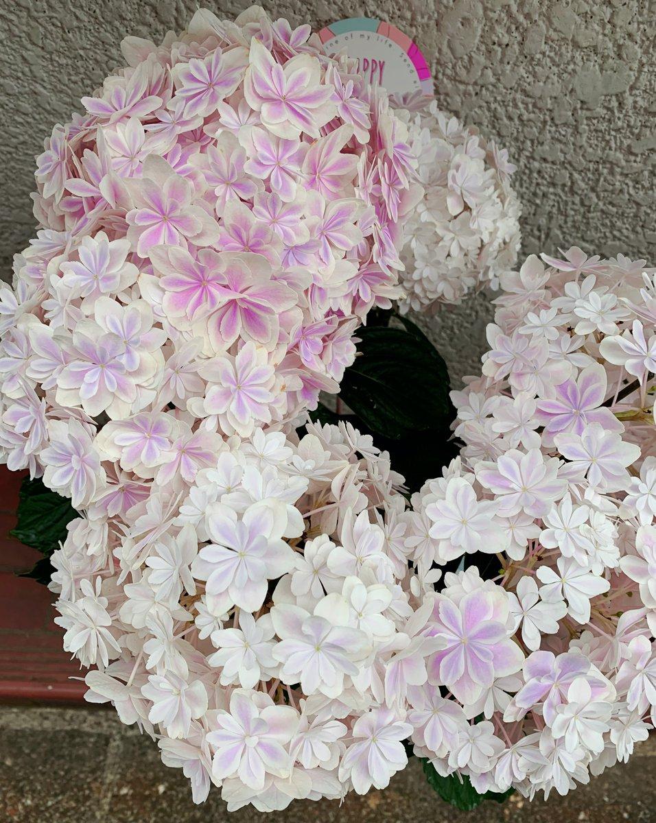 先月の母の日に、子供たちが私の家内に 紫陽花の万華鏡をプレゼントしました💠 それから1か月が経ち 万華鏡は色あせてしまいました。 それでも家内は毎日必ず水をあげて、 大切にしています✨ #薬局スタッフより  #母の日 #HappyMothersDay https://t.co/VTVfaFZz0G