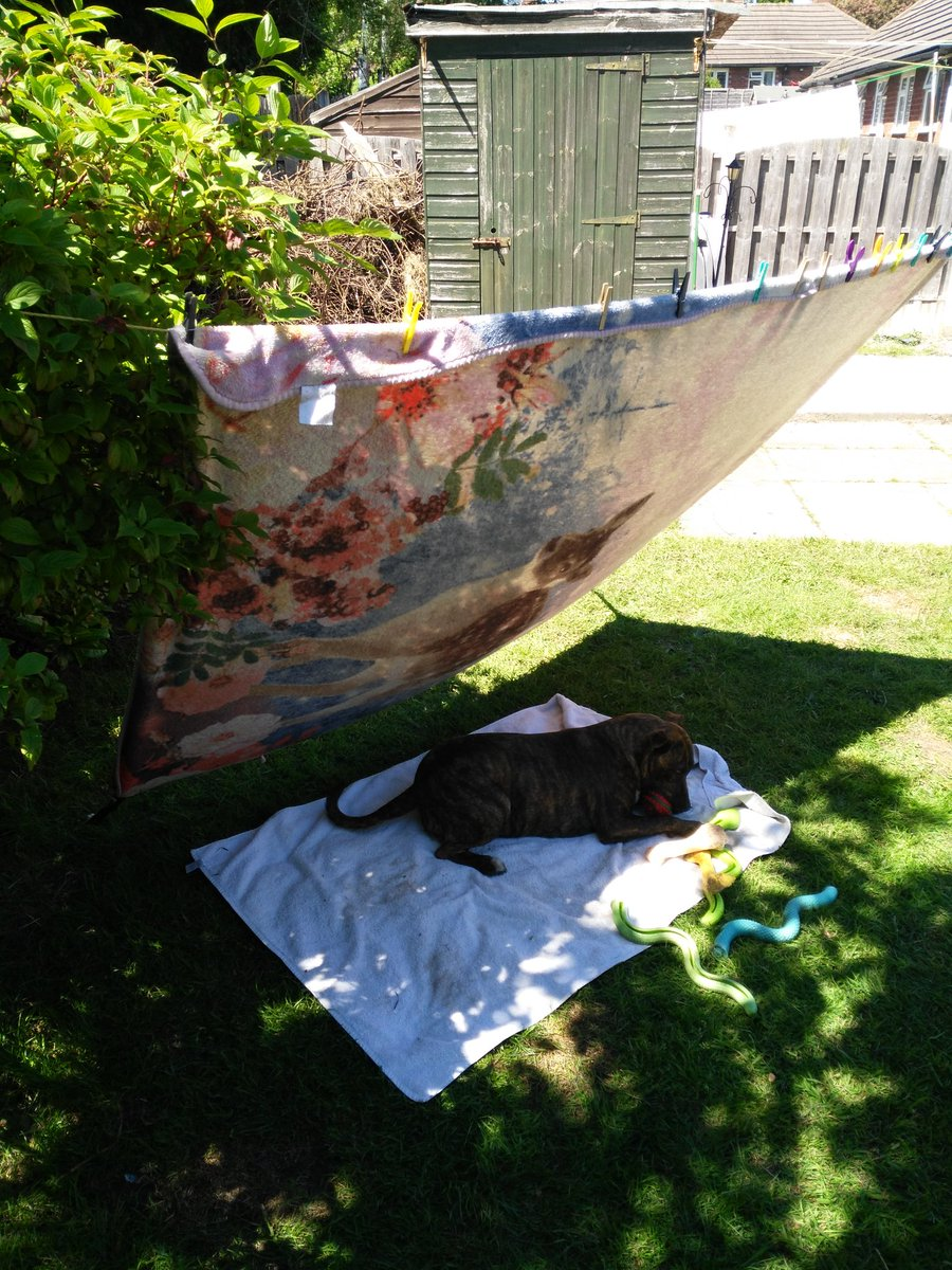A bit of council estate engineering so the dog (Sausage)can have some shade. Her blanket from her bed, washing line and pegs. #BobsYourUncleAndFannyIsAVeryRudeWord.  #DogsofTwittter #Dog https://t.co/TVYKTaSBbz