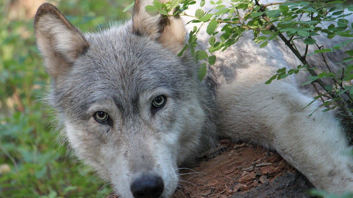 RT @Gizmodo: Birth of 3 Wolf Pups Means Colorado Has Its First Native Wolves Since the 1940s