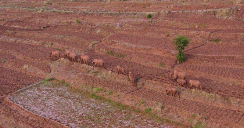 Elephant herd trekking across China leave one behind Photo