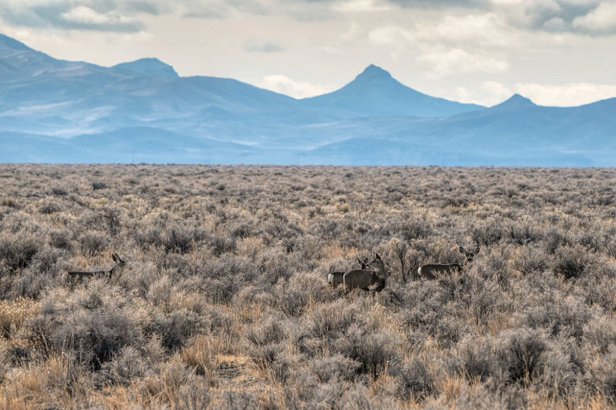 """Thacker Pass 5/N:""""bird, another three are within 3 miles of the project area.""""""""Opposition to lithium mine grows among tribes, conservationists"""" via Nevada Current By Jeniffer Solis,  https://bit.ly/3cxsAETPhoto by Max Wilbert, Protect Thacker Pass.See whole thread to top."""