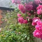 Image for the Tweet beginning: Roses at twilight... #gardenlife