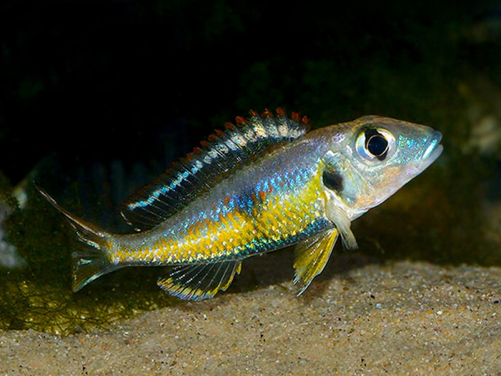 Callochromis pleurospilus «Kigoma» Price starts from 16.5 GBP Tag a friend who would love this! Buy one here---> https://t.co/ttjPWRyQqD #callochromis #eyed #kigoma #large #mouthbreeder #pleurospilus #tanganyika #glassworm https://t.co/pVwbkedQyH