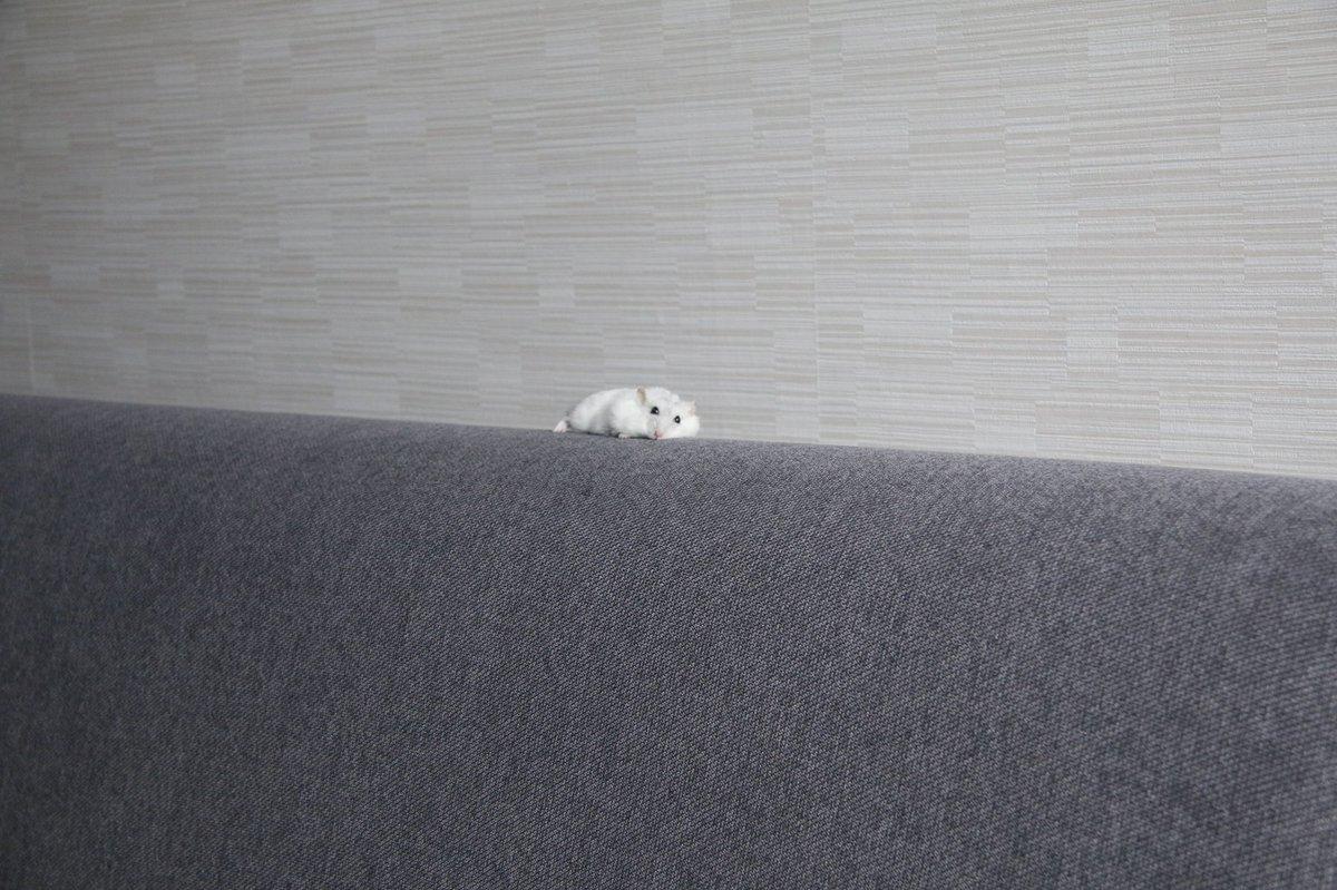 ソファーで行き倒れているのは…?可愛らしいハムスター!