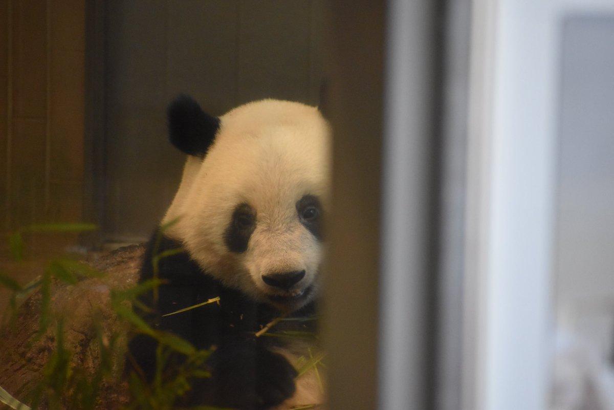 おやすみシャンシャン シャンは見てるでー👀 #シャンシャン #Thank you Xiang Xiang https://t.co/Jg0A1CaRhB