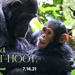 Image for the Tweet beginning: #WorldChimpanzeeDay is ONE MONTH AWAY!