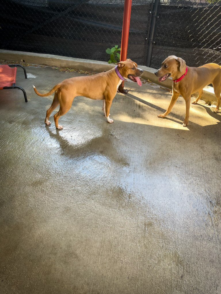 Ellie and Knox are having a blast playing together and enjoying this beautiful weather! For more information on these playful pups, please visit our website. 🐶❤️  https://t.co/V6HY2o8Aqb  #adoptabledogs #rescuedogs #playtime #beautifulday #adoptdontshop #letsbehumanetogether https://t.co/JuRRI4P6AA
