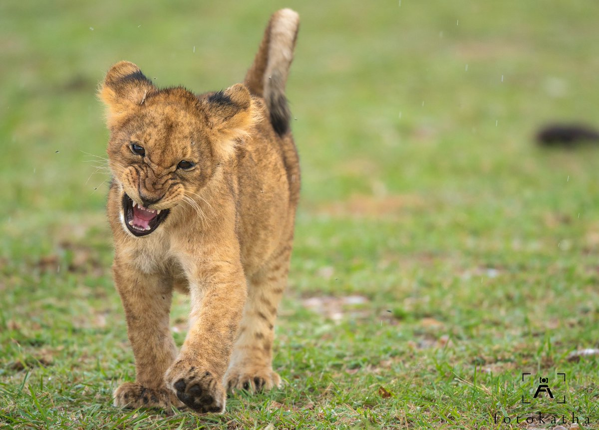 Roar like a king... To read more: https://t.co/zfdHQvnYsg  #fotokatha #wildlife #wildlifeonearth #nature #masaimara #masaimaranationalpark #wildlifephotography #animals #bigcats #cat #animal #safari #wildlifelovers #bigcatsintiative #photography  #bigcat #lioncub #lioncubs #cub https://t.co/7EX2fX56PA