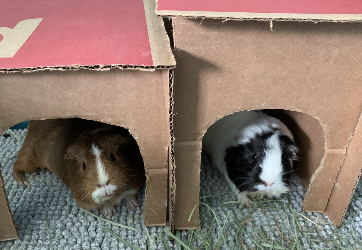 It is the return of pighotel! Coco and Mimi are satisfied guests 🐹🏩