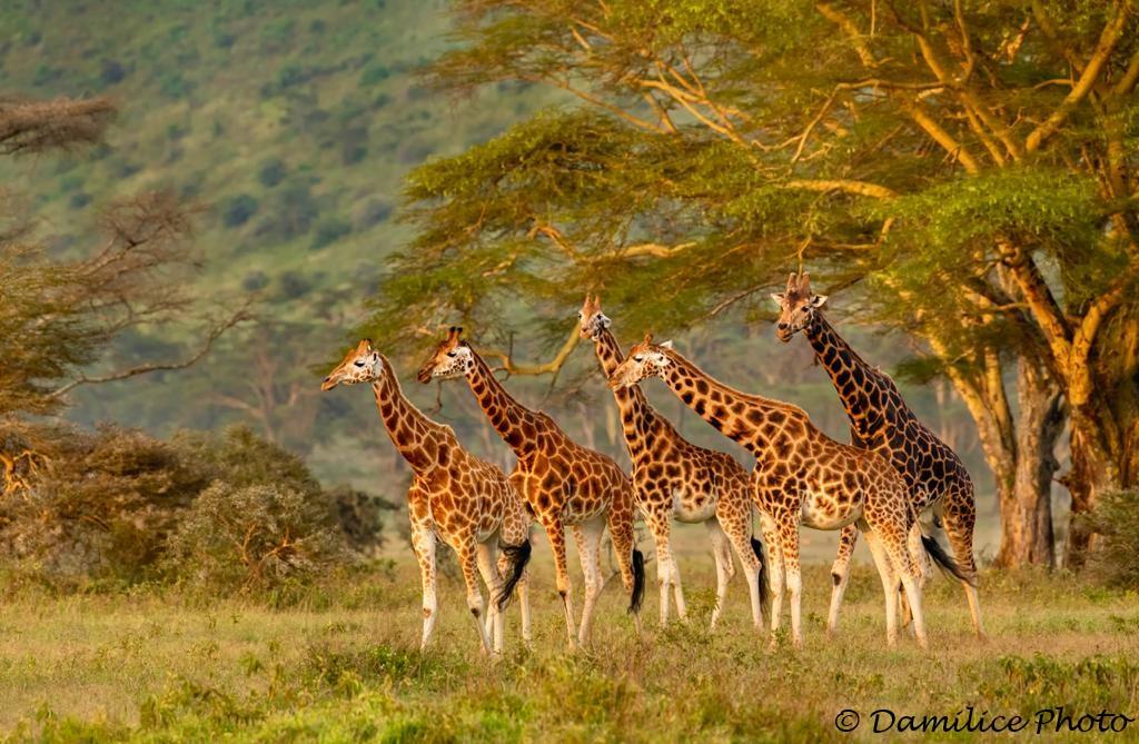 A family of giraffes in Samburu, Kenya. Did you know that there are nine types of giraffe, distinguished by their coat patterns? @ThePhotoHour #BBCWildlifePOTD #wildlifephotography #NaturePhotography #TwitterNatureCommunity #Kenya #photooftheday https://t.co/vm5UxVNSFl