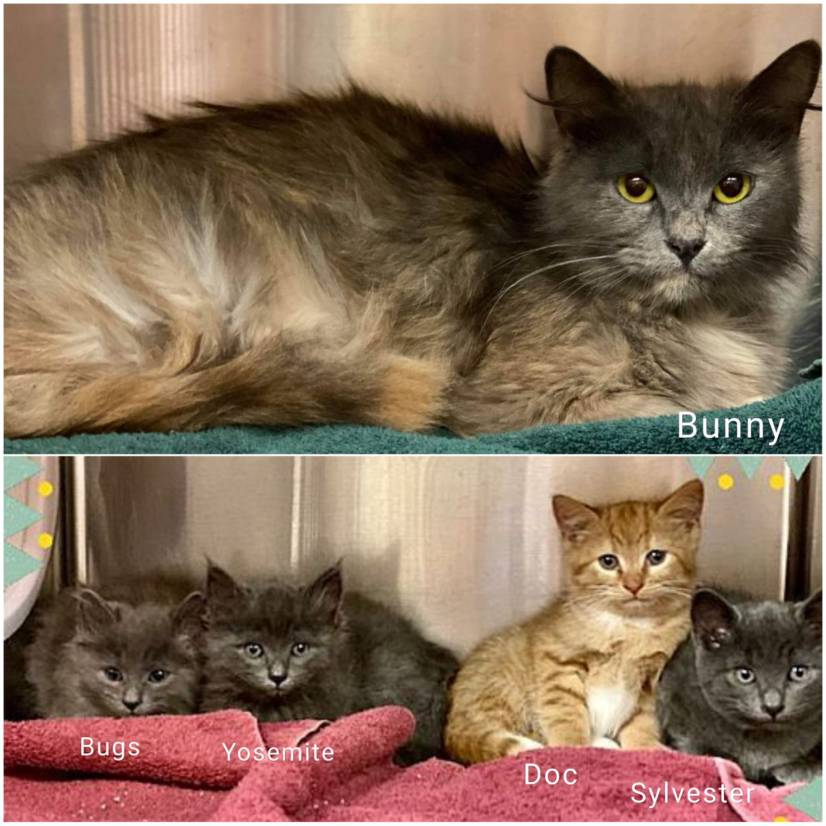 """Lovely muted calico """"Bunny"""" ID 629964 & 4 adorable kittens (all boys) Bugs ID 629943, Yosemite ID 629942, Doc ID 629941 & Sylvester ID 629940 need adoption/rescue! Phone to arrange a meet at (770) 499-4136 or online (link below)! Pledge for rescue! URGENT! https://t.co/6oWv3aQjA2 https://t.co/L4bnTsJtHt"""