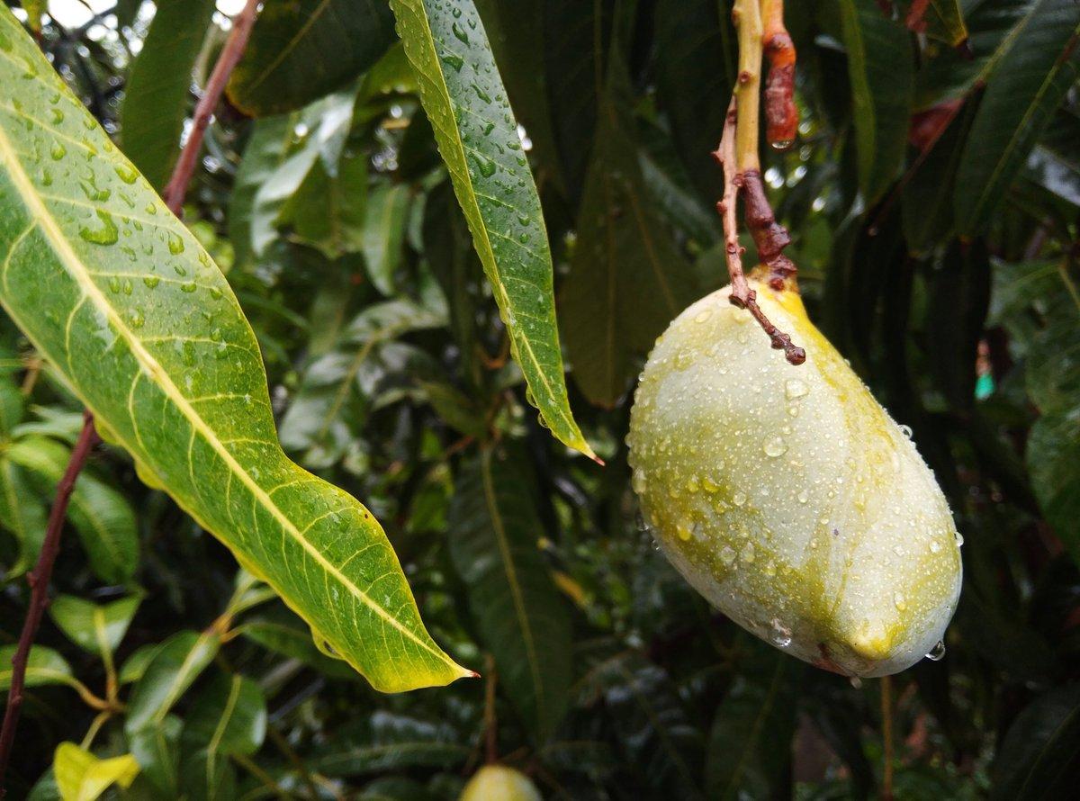 Farewell to the mango season.   #Telangana #Hyderabad https://t.co/z2VhTELK6x