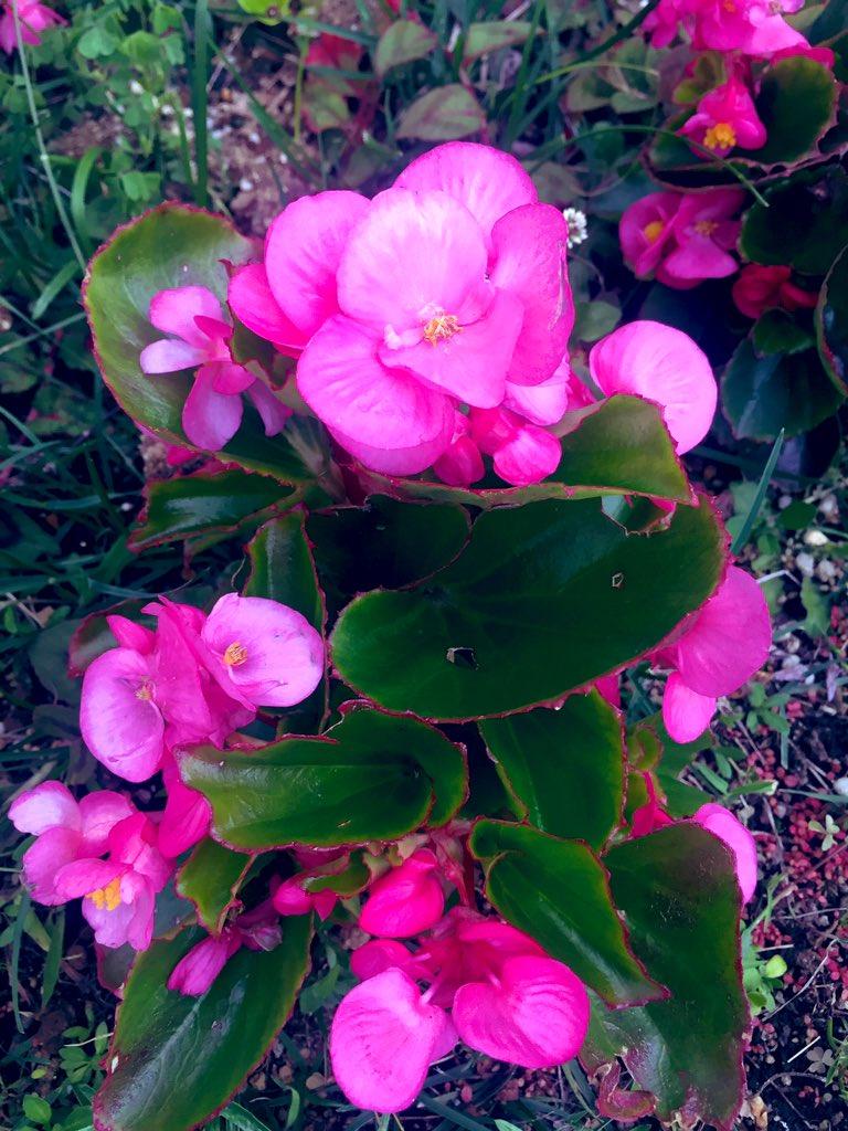言葉 ベゴニア 花 「ベゴニア」の花言葉の意味、似た意味の花言葉を持つ花を徹底解説!