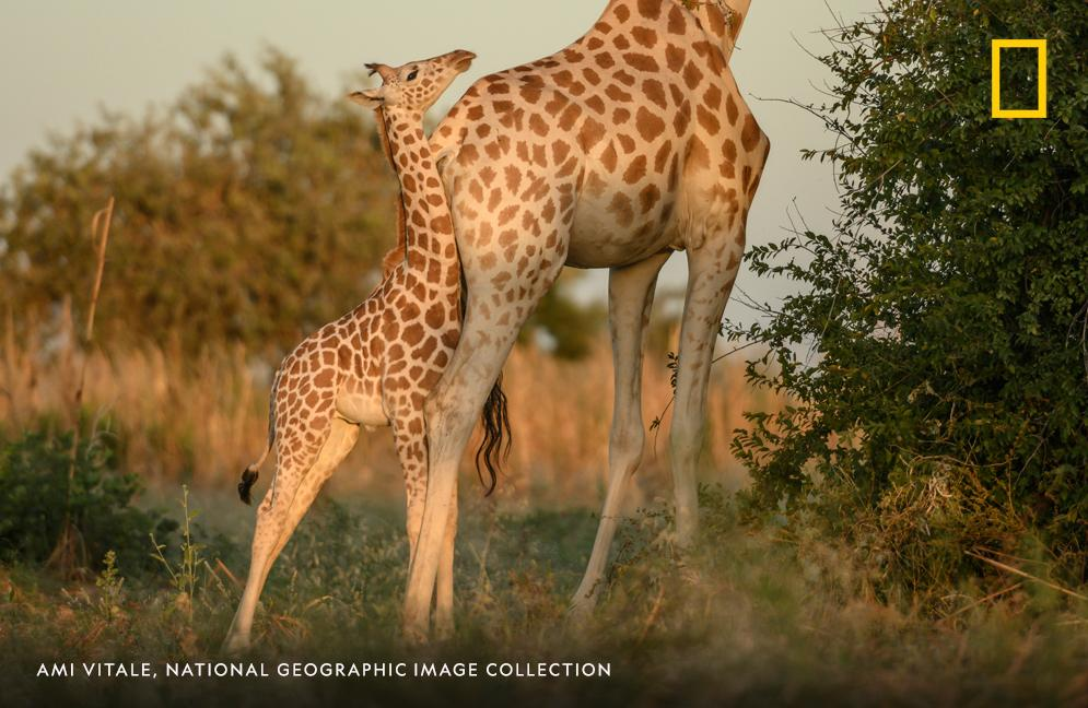 A West African giraffe with calf in Niger's Giraffe Zone, a government-defined region where giraffes and humans are co-existing https://t.co/Jh2JEWok9i
