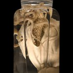 Image for the Tweet beginning: Happy #CephalopodWeek! This🐙was collected in