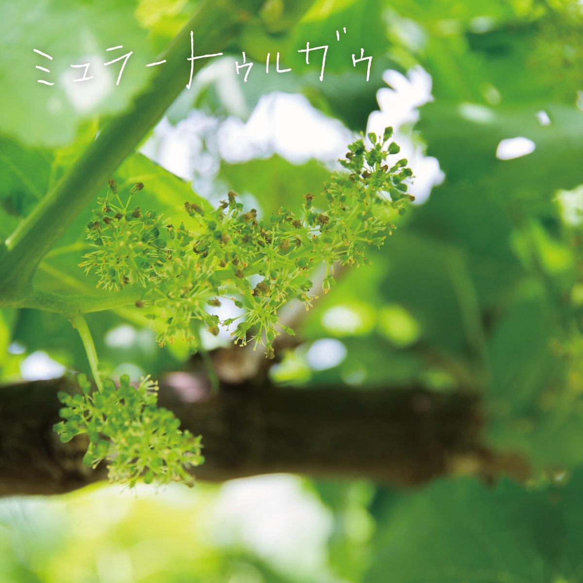 なんと!これが【ブドウの花】!!(・ω・ノ)ノ なかなか見れない【ブドウの花】✨こういう花もいいですね・・・☺️💕