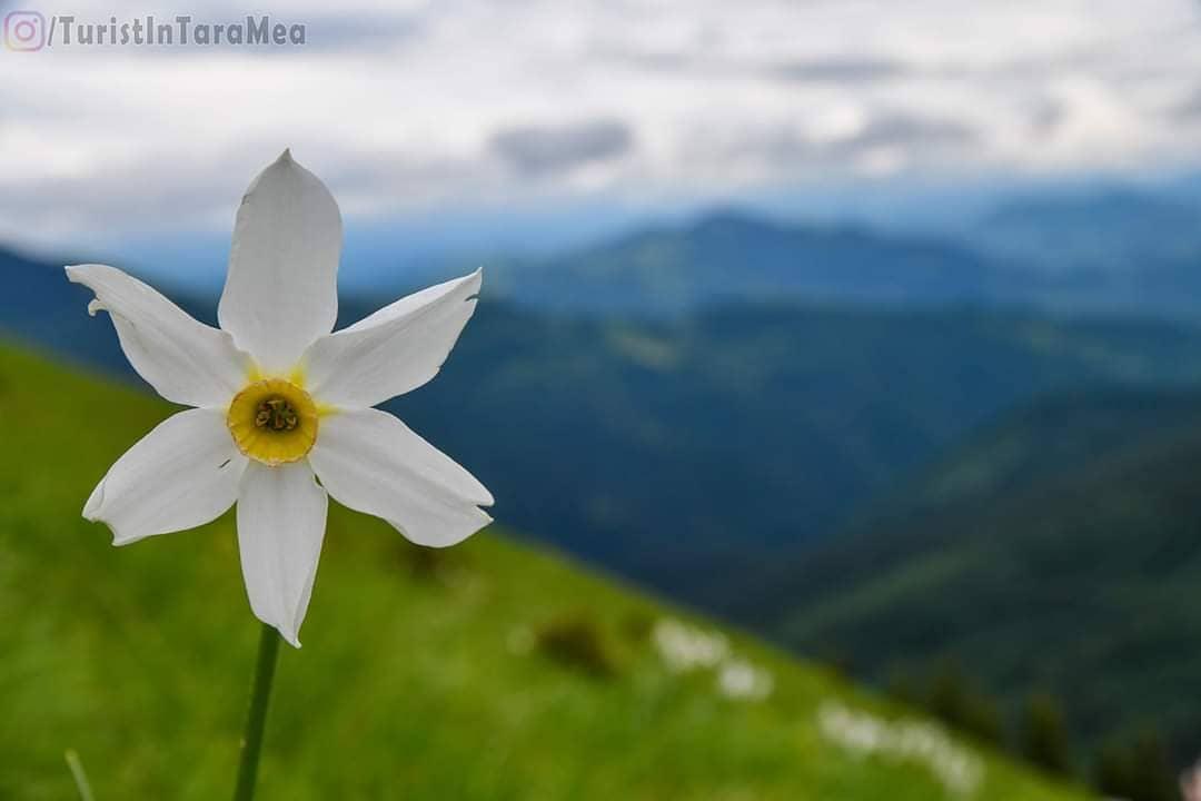 Poiana Narciselor, Masivul Saca, Munții Rodnei #TuristÎnȚaraMea  Fb: https://t.co/WSAcKui0K9 Insta: https://t.co/c2EicRgKwH https://t.co/qnekZtcaeL