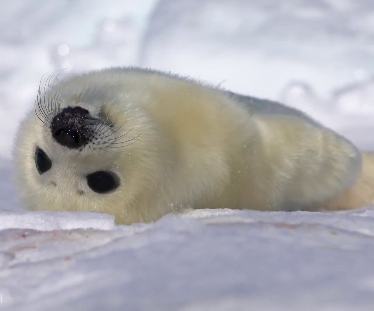 Drop a ❤️ in the comments to welcome this baby harp seal into this world → https://t.co/qnYIxZFVtH https://t.co/eeMIRqhMtl