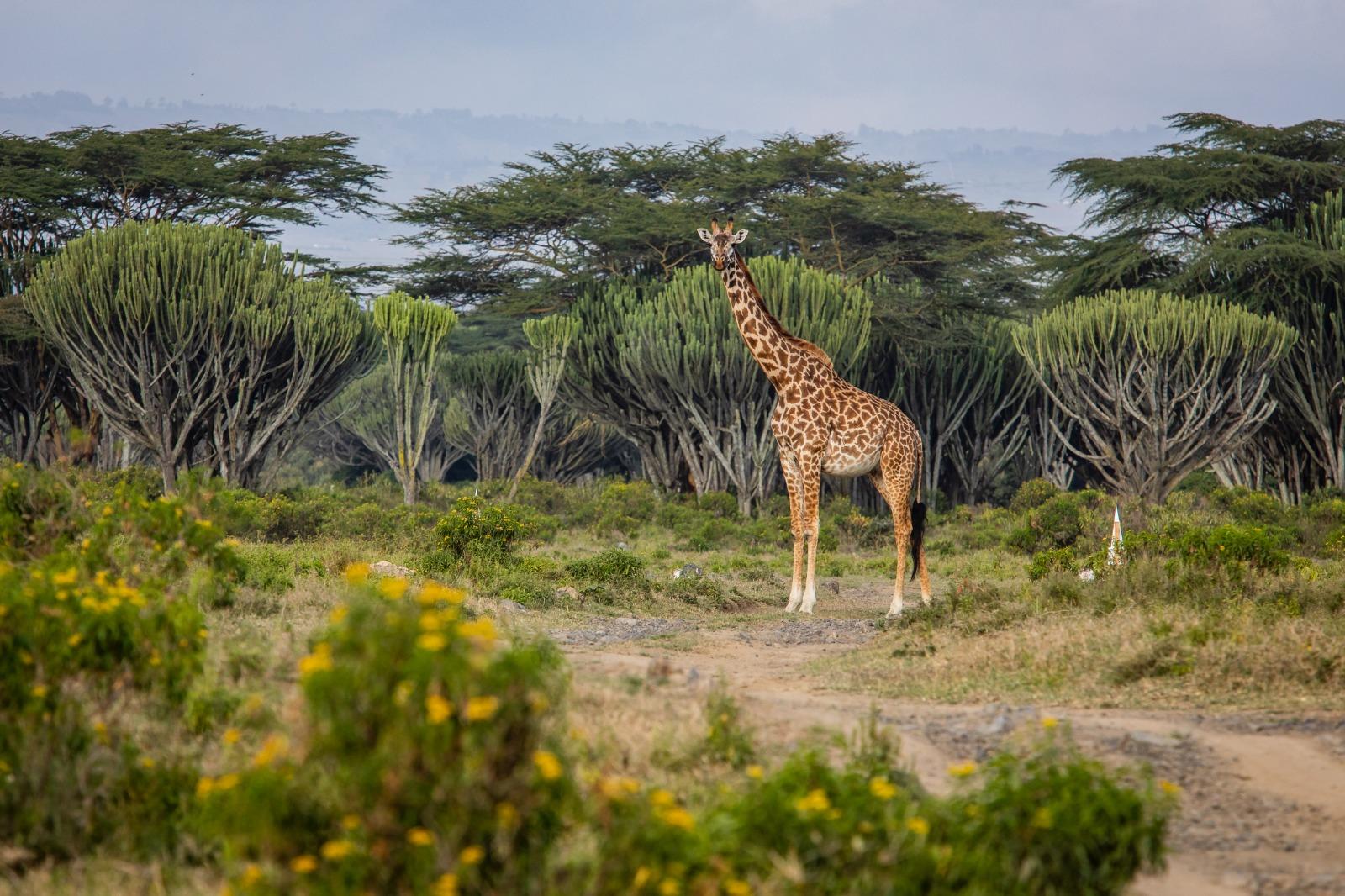 WRC: Safari Rally Kenya [23-27 Junio] - Página 2 E4gmybSWEAUHNFT?format=jpg&name=large