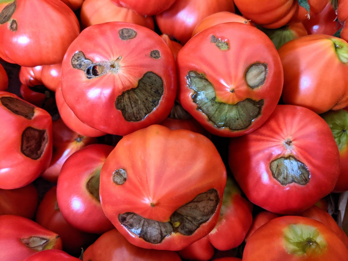 闇落ちトマト!実はとってもうまいのです。