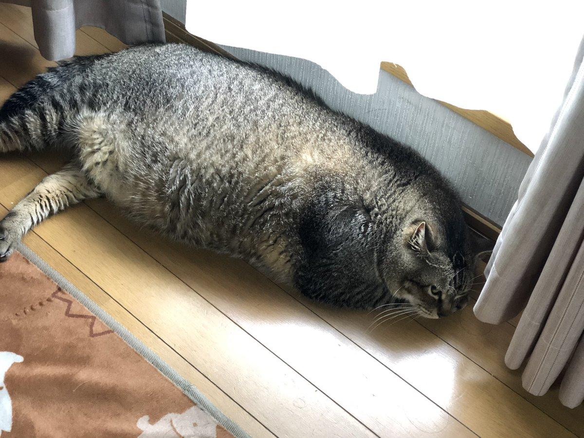 アザラシ化した猫!どこまで進化する!