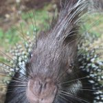 Image for the Tweet beginning: Happy World Porcupine Day!