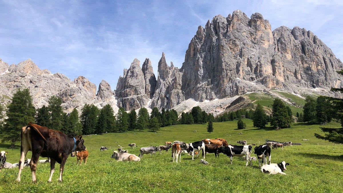 Lucky #cows