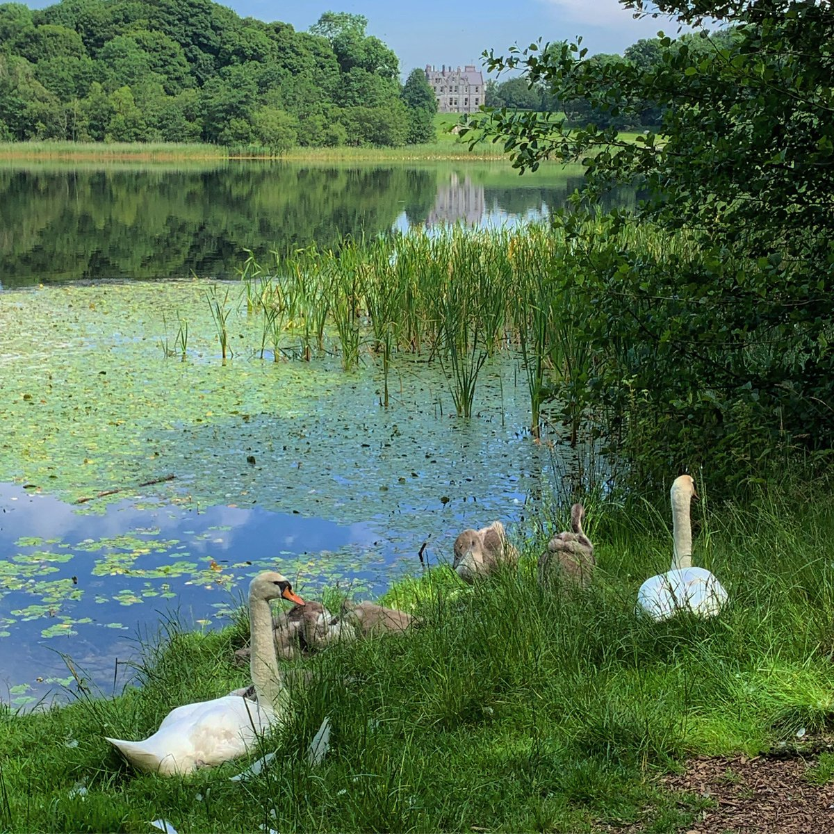 Last week our swans picked the perfect location to bask in the afternoon sun! What a view across the lake with Blarney House in the distance!  #blarneycastleandgardens #purecorkwelcomes #purecork #makeabreakforit #cork #ireland #blarney #castles #walks #follow https://t.co/0Q5z9qNk62