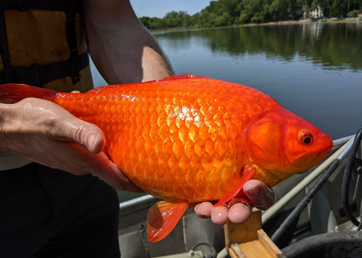 Photo: Groups of these large goldfish were recently found in Keller Lake in Minnesota.