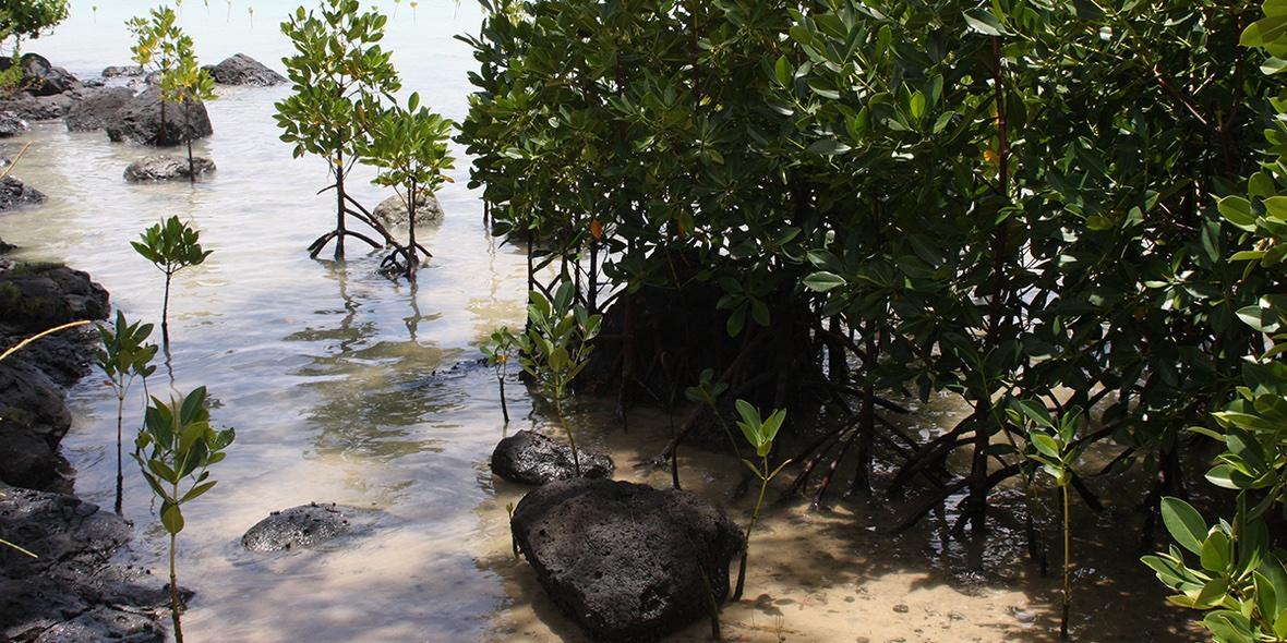 Heute ist der internationale Tag für den Erhalt der #Mangroven. Sie sind ökologisch wichtig für tropische Küstenregionen, doch ihr Bestand nimmt stark ab – vor allem für Aquakulturen, in denen Fisch und Meeresfrüchte gezüchtet werden. #Weltmangroventag
