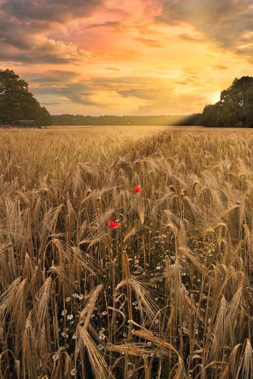 Exoplanet A Wheatfield in Germany during sunset   by photogene https://t.co/tb7DMFPAYW