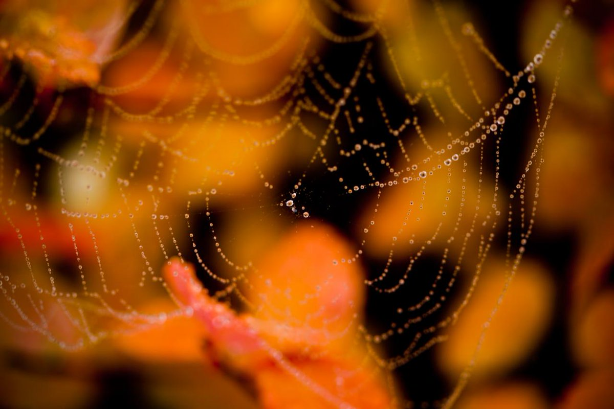dew drops on spider webs before autumn leaves