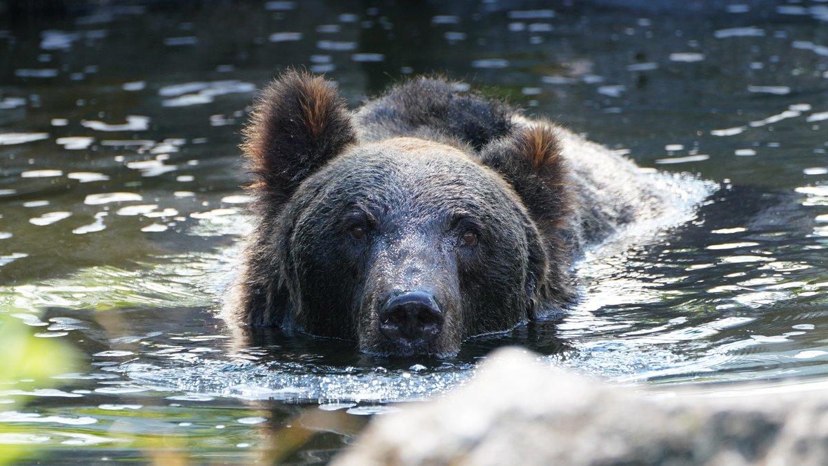 test ツイッターメディア - 潜ったり~、顔を出したり~ 池の中で、のんびり過ごすヒグマ 🐻  #動物たちの水遊び #富士サファリパーク https://t.co/HypvFPTicv https://t.co/cILEv0KUmf