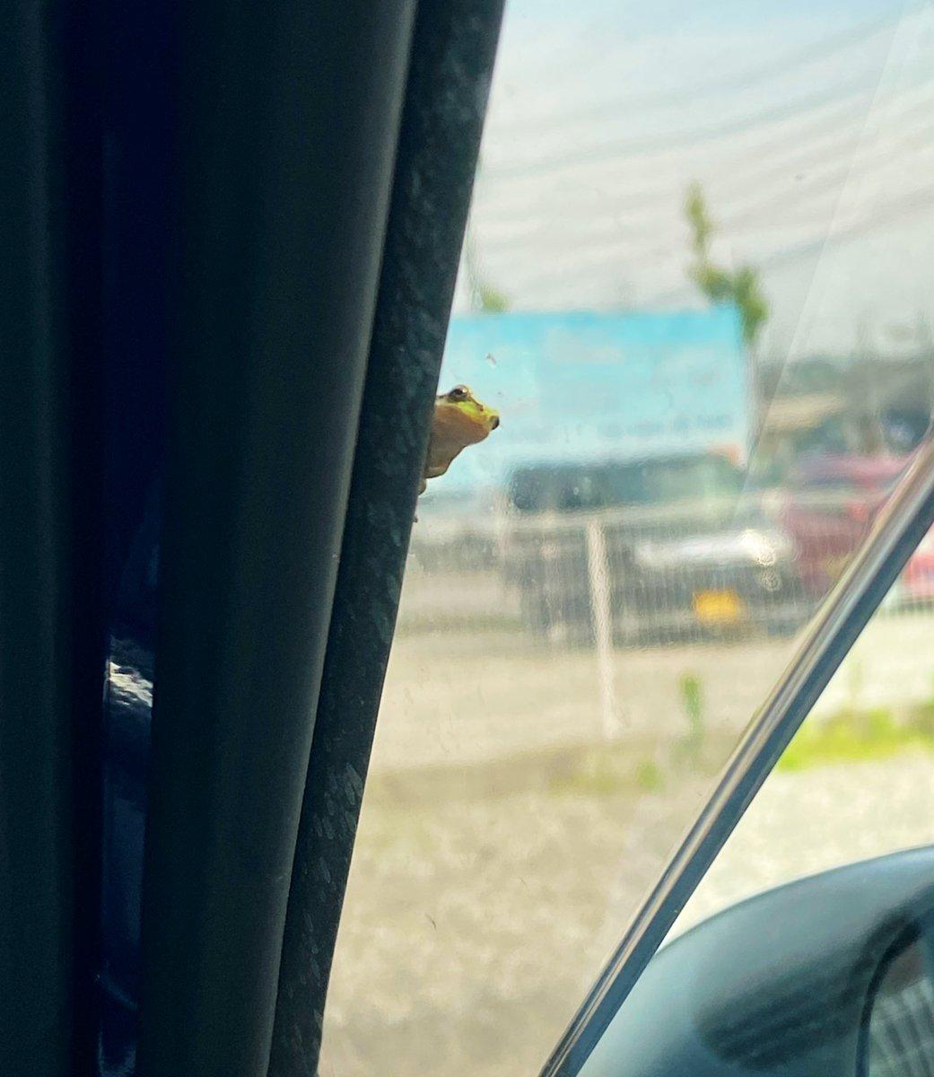 車のバイザー裏にアマガエルが出現!駐車場に着いた後のカエルの表情にほっこり!
