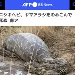 観光客によるストレスで…?ニシキヘビがヤマアラシを飲み込んで死んでしまう…