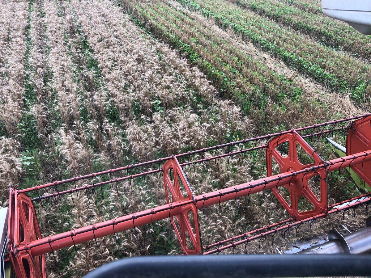 [#IPHARD] La récolte du blé s'est bien déroulée avec un rendement moyen de 45q/ha et le soja peut maintenant respirer. On va effectuer un suivi précis de nos 21 variétés de soja en relais (hauteur, biomasse...) en attendant la récolte. Affaire à suivre #relaycropping @INRAE_Tlse