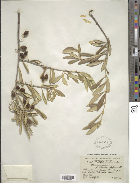 @smithsonian In the ancient Olympic Games, there were no gold, silver, or bronze medals. Winners were crowned with a wreath made of stems bearing leaves of wild olive. The specimen pictured was collected in Thermopylae, Greece by German botanist J. Mattfeld in 1926. https://t.co/dt0Kpyrr2u