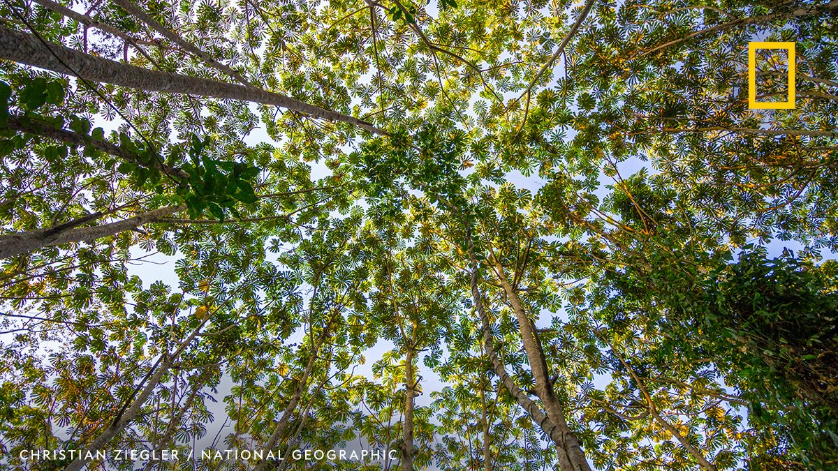 Rainforests are a powerful natural climate solution. Conserving and restoring rainforests improves water filtration, biodiversity habitats, and can contribute to stabilizing global warming. https://t.co/8BGWypMxRk