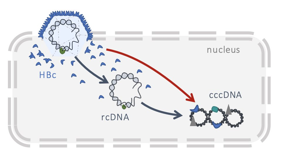 Interested in deciphering the #HBV life cycle ? Feel free to browse our last publication focused on #cccDNA and #HBc. 🦠 Thanks to the @HepvirTeam for allowing me to work on this project. https://t.co/hStsWPlgAP